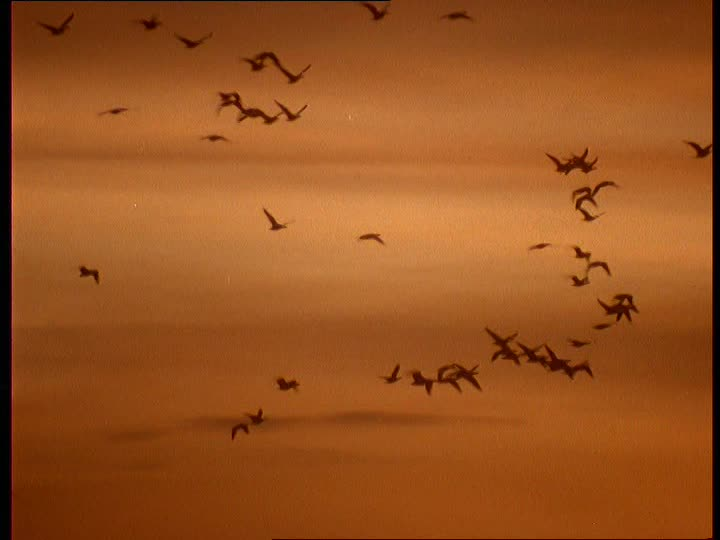 704607653-goose-flock-of-birds-dawn-arctic